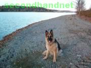 I m looking for non pedigree  gsd female
